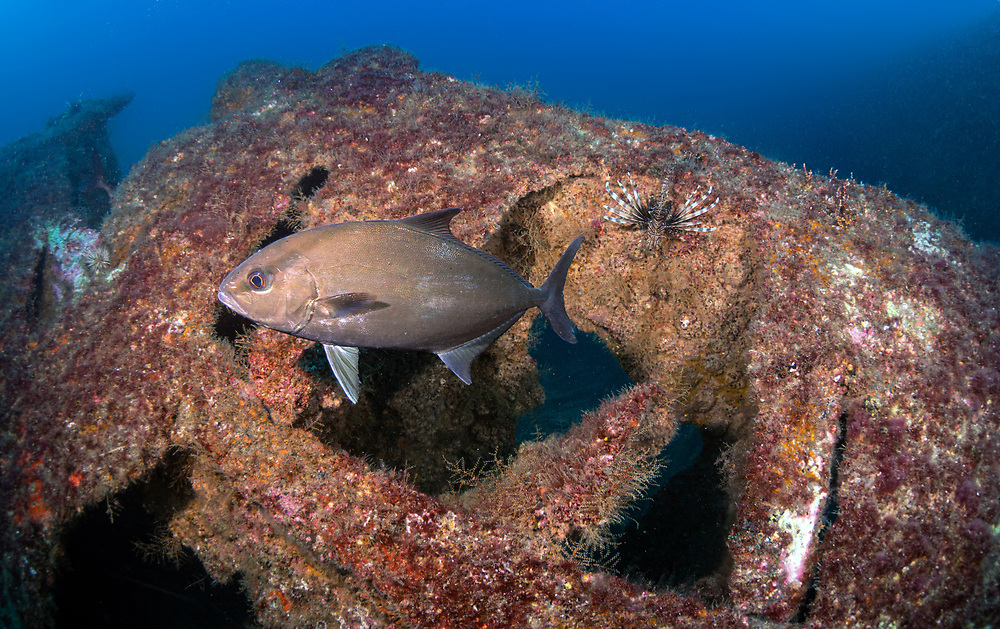 Greater Amber Jack on Papoose Shipwreck in North Carolina, USA