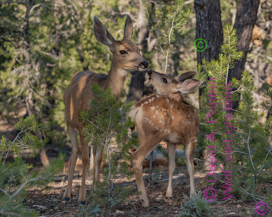 Mule deer doe in the pinon-juniper woodlands along the south rim of the Grand Canyon, © David A. Ponton