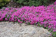 65021-034.11 Moss Phlox (Phlox subulata) in garden,  MO