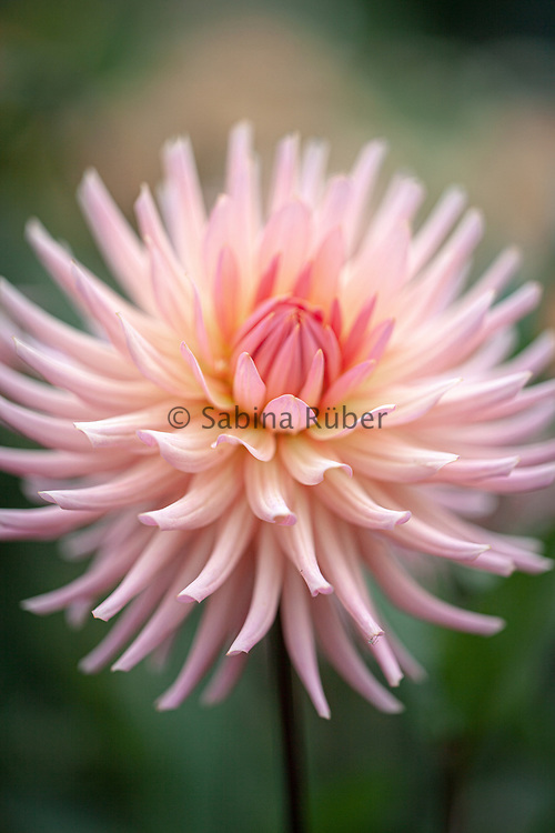 Dahlia 'Preference' - cactus dahlia