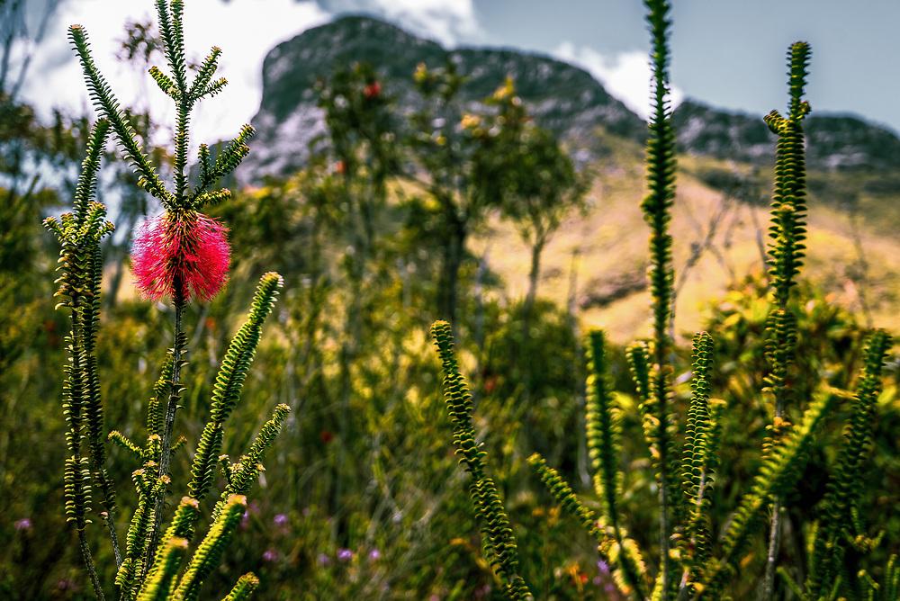 Bluff Knoll and Swamp Bottlebrush in Stirling Range, Western Australia.