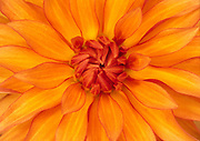 Close up abstract of the centre of a single orange dahlia flower (Dahlia variety) growing in a garden in Dorset