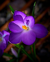 Purple Crocus. Image taken with a Leica SL2 camera and Sigma 105 mm f/2.8 macro lens.