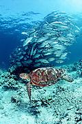 "green sea turtle, Chelonia mydas, and bigeye jacks, Caranx sexfasciatus, in daytime ""refuging"" school, Sipidan Island, Borneo, Malaysia ( Celebes Sea / Western Pacific Ocean )"