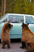 Begging bears, Yellowstone National Park, 1960; Policies implemented in late 1960s stopped such dependence on human food handouts. Black bears, brown phase.