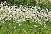 Cow parsley, perennial wildflower known as Queen Anne's Lace (Anthriscus sylvestris) in The Cotswolds, UK