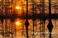 63895-17413 Cypress trees at sunset in fall Horseshoe Lake State Fish & Wildlife Area Alexander Co. IL