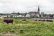 Nederland, Nijmegen, 16-10-2018Wilde runderen grazen op het Lentereiland, Veur Lent, het eiland dat is ontstaan door de aanleg van de nevengeul tegenover de stad. Natuurbegrazing door het uitzetten van Schotse Hooglanders. De grazers lopen op de oever en houden de begroeiing laag en divers. Ze zijn uitgezet door de stichting Taurus die zich ook bezighoudt met het terugfokken van het Europese oerrund, de oerkoe. Foto: Flip Franssen