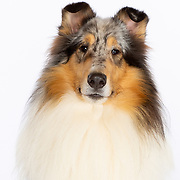 20210613 All Rensink Collies