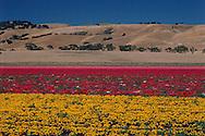 California, Flower Farm near Gilroy
