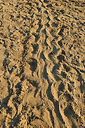 Many beaches along the Lykian Coast in Turkey are used for nesting by the Loggerhead Sea Turtle (Caretta caretta). The big tracks left on the beach bear witness to the nocturnal visit of an egg-bearing female.    Unechte Karettschildkröte (Caretta caretta)