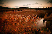 A dense reed bed behind the beach at Llugwy, East Anglesey, at dusk