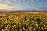 Tidy-tips at Sunrise, Carrizo Plain National Monument, California
