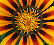 Close up abstract of the striking and colourful centre of a gazania flower growing in a garden in Dorset