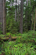 An open patch of forest at Cathedral Grove is filled by Sword Ferns (Polystichum munitum) in Macmillan Provincial Park near Port Alberni, British Columbia, Canada