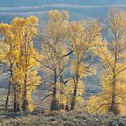 Cottonwood trees (Populus deltoids occidentalis) in the Lamar Valley of Yellowstone National Park showing their fall colors.
