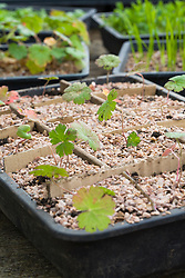 Pricking out seedlings of Geranium wallichianum 'Buxton's Blue'. Finished tray of seedlings