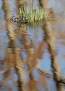 Tuxuedo, New York  - Green plants grow out of the water in a wetland in Sterling Forest State Park on March 18, 2012.
