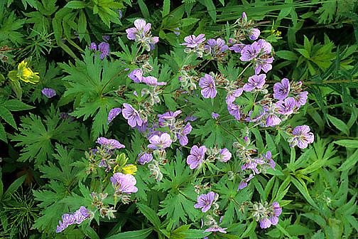 Wildflowers, Sticky Geranium(Geranium viscosissimum) Kodiak Island. Alaska.