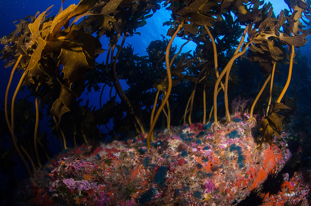 Poor Knights Reef, Bryozoan Virididentula dentata (was Bugula dentata)