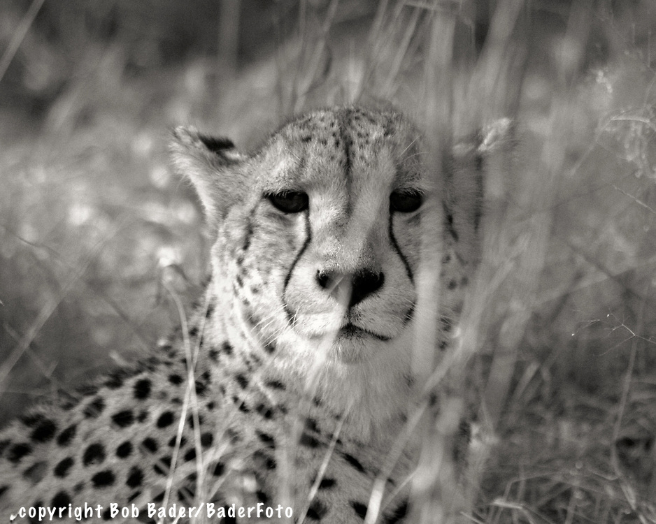 Leopard Watching Prey