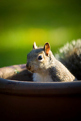 Grey squirrel in a chimney pot (used as a garden plant pot), Leicester, England, United Kingdom.