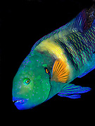 Broomtail wrasse, Cheilinus lunulatus, endemic to the Red Sea and Gulf of Aden.
