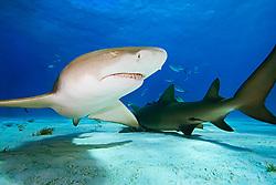 Lemon Sharks, Negaprion brevirostris, West End, Grand Bahama, Atlantic Ocean.