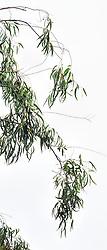 Eucalyptus camaldulensis #15