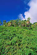 Hala trees and ferns covering hillside along the Kalalau Trail,  Na Pali Coast, Island of Kauai, Hawaii