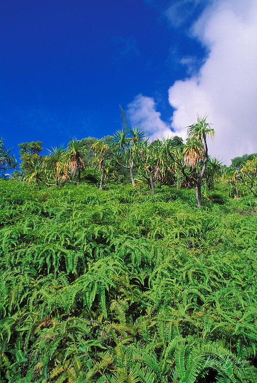 Hala trees and ferns covering hillside along the Kalalau Trail,  Na Pali Coast, Island of Kauai, Hawaii