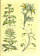 Scrophularia samnucifolia [Elder-leaved Figwort], Scolymus hispanicus [Peruvian Golden Thistle] Serratula praealta [Tall Saw-wort] Scorpiurus sulcata [Three-Flowered Caterpillar] from Vol II of the book The universal herbal : or botanical, medical and agricultural dictionary : containing an account of all known plants in the world, arranged according to the Linnean system. Specifying the uses to which they are or may be applied By Thomas Green,  Published in 1816 by Nuttall, Fisher & Co. in Liverpool and Printed at the Caxton Press by H. Fisher