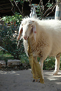 Israel, Galilee, Mount Tabour Sheep