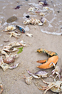 Broken crabs and lobsters tossed onto Nauset Beach by storm surf.