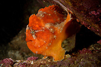 Painted frogfish, Antennarius pictus, or spotted frogfish. Basalt Island, Sai Kung District, together with Wang Chau and Bluff Island, it forms the Ung Kong and is part of Hong Kong Global Geopark, Hong Kong, China. This Image is a part of the mission Wild Sea Hong Kong (Wild Wonders of China).