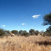 Krugerparken 2002 07 Syd Afrika<br /> Giraffer på savannen <br /> <br /> <br /> FOTO JOACHIM NYWALL KOD0708840825<br /> COPYRIGHT JOACHIMNYWALL:SE<br /> <br /> ****BETALBILD****<br />  <br /> Redovisas till: Joachim Nywall<br /> Strandgatan 30<br /> 461 31 Trollhättan<br />  Prislista: BLF, om ej annat avtalats