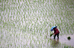 April 24, 2018 - Huaying, Huaying, China - Huaying, CHINA-24th April 2018: Farmers transplant rice seedlings at farm field in Huaing, southwest China's Sichuan Province, April 24th, 2018. (Credit Image: © SIPA Asia via ZUMA Wire)