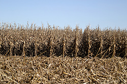 29 October 2006: Corn stalks dried to a golden brown signal the time for harvest. Rural McLean County, Illinois<br />