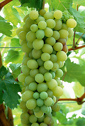 Grapes growing at West Dean gardens, Chichester