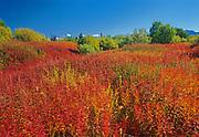 Fireweed (Epilobium sp.)  in late summer<br />Kluane National Park<br />Yukon<br />Canada