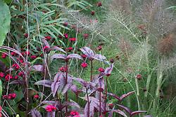Dianthus cruentus with the foliage of Penstemon 'Husker Red' and Foeniculum vulgare 'Purpureum' (bronze fennel).