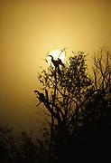 Pair of Anhingas, Anhinga anhinga, silhouetted by a foggy sunrise, Shark River Slough, Everglades National Park, Florida.
