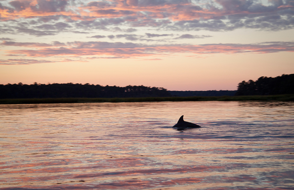 A dolphin fishes the rising tide at sunset on the May River.