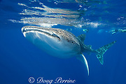 whale shark ( Rhincodon typus ) and snorkeler, Kona Coast of Hawaii Island ( the Big Island ) Hawaiian Islands, USA ( Central Pacific Ocean ) MR 357