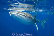 whale shark ( Rhincodon typus ) and snorkeler, Kona Coast of Hawaii Island ( the Big Island ) Hawaiian Islands, USA ( Central Pacific Ocean ) MR 357