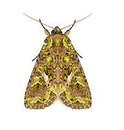 73.106 (2304)<br /> Orache Moth - Trachea atriplicis