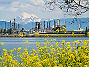 """Mount Baker (10,775 feet elevation) rises behind an oil refinery and yellow flowers at sea level in Anacortes, on Fidalgo Island in Skagit County, Washington, USA. Anacortes is known for its Washington State Ferries terminal serving San Juan Islands, Guemes Island, and Victoria via Sidney, British Columbia. """"Anacortes"""" is a consolidation of the name Anna Curtis, who was the wife of early Fidalgo Island settler Amos Bowman."""