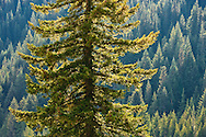 An Engleman Spruce (Picea englemannii) stands alone in Stevens Canyon. Mount Rainier National Park, WA, USA