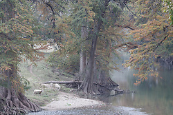 Sheep and fall color on Guadalupe River near Comfort, Texas USA