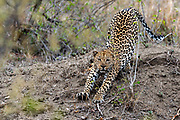 Big male leopard (Panthera pardus) streching out in Kruger NP, South Africa.